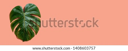 Tropical plant Monstera leaf overhead view flat lay Tropical plant Monstera leaf overhead view flat lay