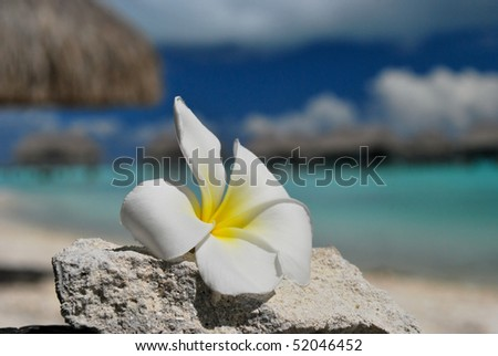Tropical Plumeria flower with blue lagoon and bungalows in teh background