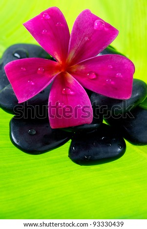 Tropical Plumeria Frangipani with black spa stone, spa and wellness concept with green background for space for text