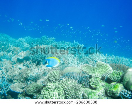 Tropical powder blue surgeonfish or blue tang against coral reef in Maldives