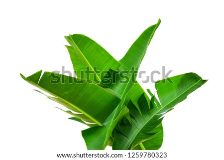 tropical rainforest bush, large lush green foliage, banana leaf isolated on white background, clipping path included.