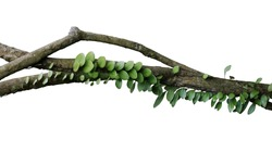 Tropical rainforest Dragon scale fern (Pyrrosia piloselloides)  epiphytic creeping plant with round fleshy green leaves growing on jungle liana vine plant isolated on white with clipping path.