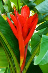 Tropical red flower on white