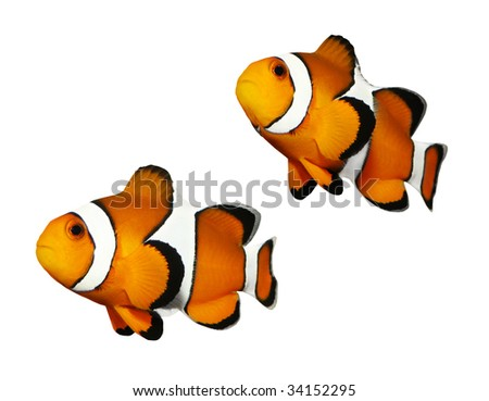 Tropical reef fish - Clownfish (Amphiprion ocellaris) - isolated on white background - stock photo
