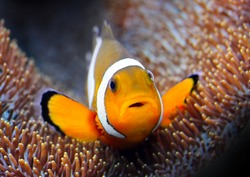 Tropical reef fish - Clownfish (Amphiprion ocellaris) Macro with shallow DOF.
