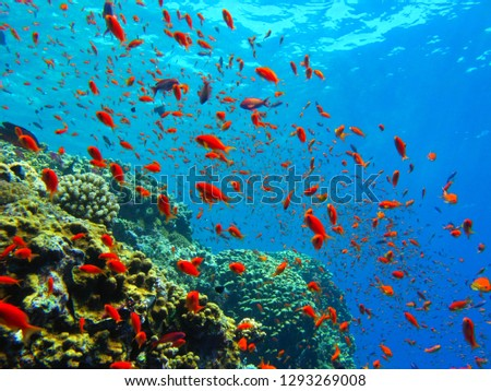 Tropical reef with red fish. Blue ocean, school of red reef fish and corals. Underwater photography from snorkeling on the reef. Underwater paradise seascape with aquatic wildlife. #1293269008