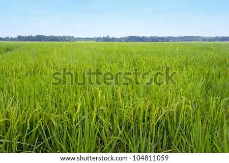 tropical ripe paddy farm landscape - stock photo