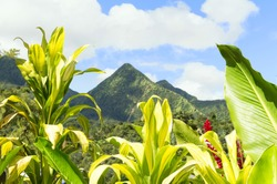 Tropical scene of Martinique mountains, Mount Pelee in the background, Lesser antilles, Caribbean plants in the foreground.