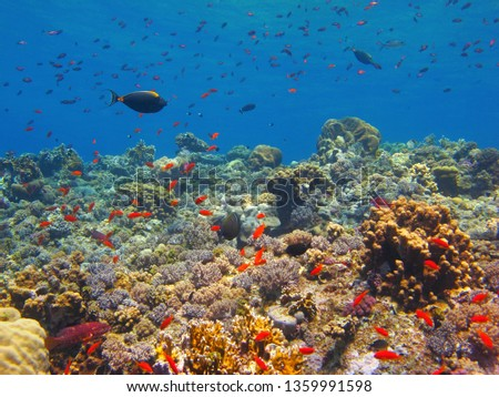 Tropical sea, coral reef with swimming fish (Anthias, Surgeonfish, Grouper). Underwater picture, snorkeling on the reef in the blue ocean. Corals and fish. Marine wildlife. Seascape with aquatic life.