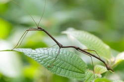 tropical stick insect in Malaysian jungle