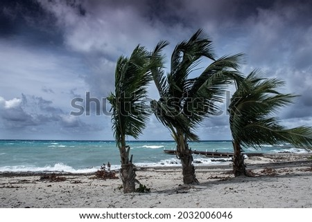Tropical storm Ida batters the coastline of the Cayman Islands. These palm trees are being blown around in the latest weather formation in the caribbean