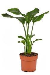 Tropical 'Strelitzia Reginae