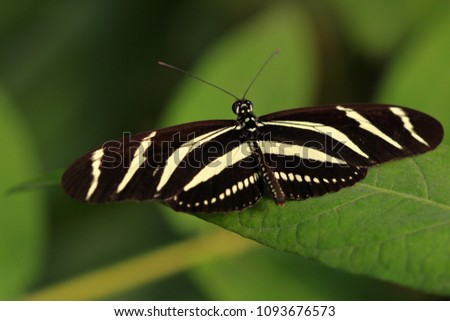 Tropical striped butterfly dido longwing (tiger longwing) on the leaf. Macro photography of wildlife.