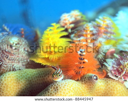 Tropical striped triplefin and Christmas tree worms, Koh Tao Island, Thailand
