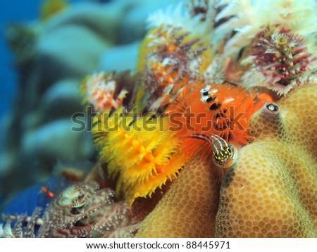 Tropical striped triplefin and Christmas tree worms, Koh Tao Island, Thailand