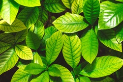 Tropical texture green leaves and morning sunlight of background.Nature concept