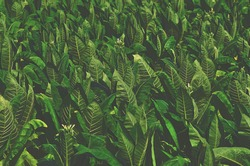 Tropical Tobacco green leaf texture,for background,vintage tone.