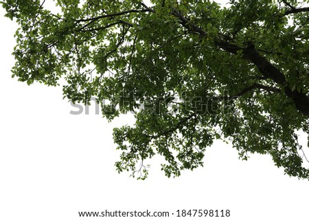 Tropical tree leaves and branch foreground isolated on white background with clipping path Stock photo ©