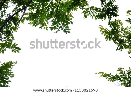 Tropical tree leaves growing in botanical garden on white isolated background for green foliage backdrop  #1153821598