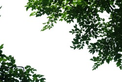 Tropical tree leaves with branches on white isolated background for green foliage backdrop a