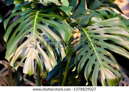Tropical tree monstera green leaves close up. #1378829027