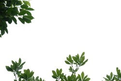 Tropical tree with leaves branches on white isolated background for green foliage backdrop and copy space