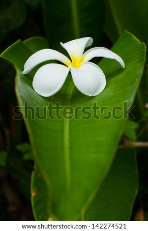 Tropical white and yellow  frangipani (plumeria) on banana leaf