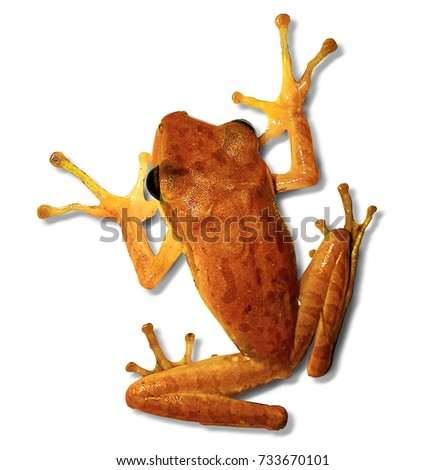 Tropical yellow frog - isolated on white. Cute animals of southern Asia