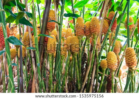 Tropical Zingiber Spectabile, pine cone, Lily, Beehive ginger, is an interesting flowering plant found in the tropics and sub tropics. There are a lot blooming at the same time in Colombia.  #1535975156