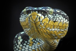 Tropidolaemus wagleri Bandotan temple is a type of poisonous tree snake from the Crotalinae tribe. This snake is also known by local names such as the snake punai