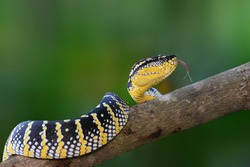 Tropidolaemus wagleri snake angry in the garden (vipers, snakes, poisons, cobras)