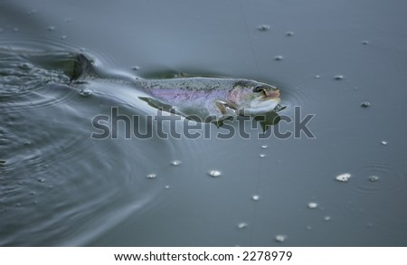 Trout fish being caught, fly visible