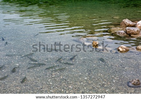 Trout swims in clear, clear water. View from above.