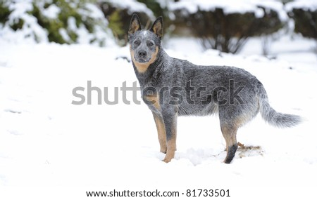Troutnip Pandablue, a pedigree'd australian cattle dog (aka blue heelers) frolics in snow in the drakensberg, south africa