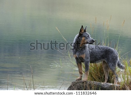 Troutnp Pandablue of Goschen, a pedigree Australian Cattle dog puppy age six months