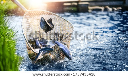 Trouts fishing with coopnet. Fish caught into a fishing net. Stockfoto ©