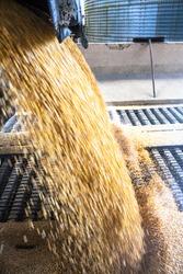 Truck makes a corn dump at an animal feed factory in Santa Catarina State