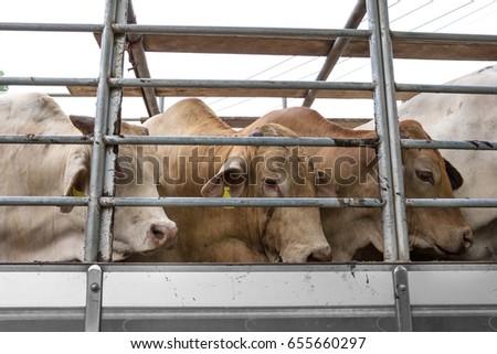 Truck Transport Beef Cattle Cow livestock  #655660297