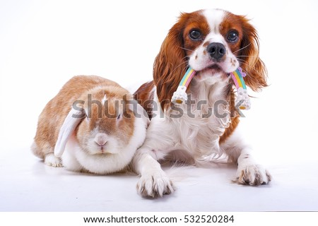 True animal friends. Real dog and lop together. Cavalier king charles spaniel dog with live orange rabbit loves each other. Animal friendship illustration. #532520284
