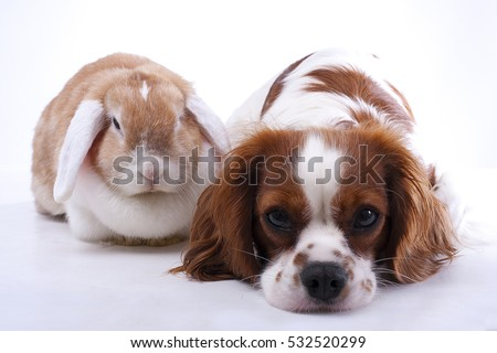 True animal friends. Real dog and lop together. Cavalier king charles spaniel dog with live orange rabbit loves each other. Animal friendship illustration. #532520299