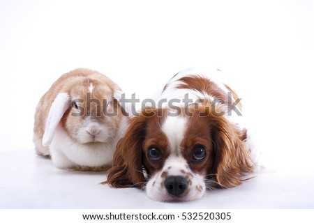 True animal friends. Real dog and lop together. Cavalier king charles spaniel dog with live orange rabbit loves each other. Animal friendship illustration. #532520305