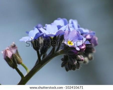 True forget-me-not, Myosotis palustris - stock photo