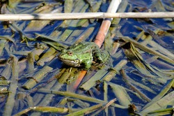 True frog. The frog sits on broken reed stalks that float in the water.