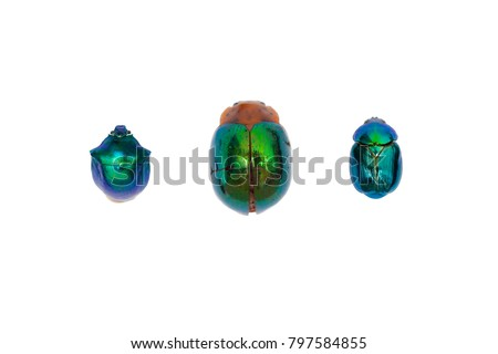 True gems of the Amazon rain forest are its iridescent beetles (Coleoptera). The beetles are isolated on white background