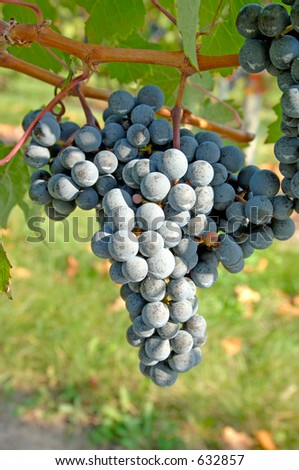 True Pinot Noir grapes. Focus = the middle of the bunch. 12MP camera, macro.