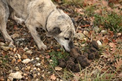 TRUFFLE DOG WITH TRUFFLES, TRUFFLE GATHERING IN DROME IN FRANCE