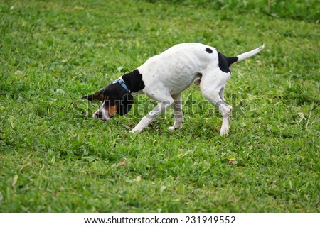 truffle sniffing dogs to find truffle