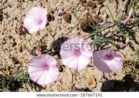 Trumpet Pink Flower on Asphalt of the Road