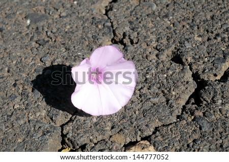 Trumpet Pink Flower on the Asphalt of the Road