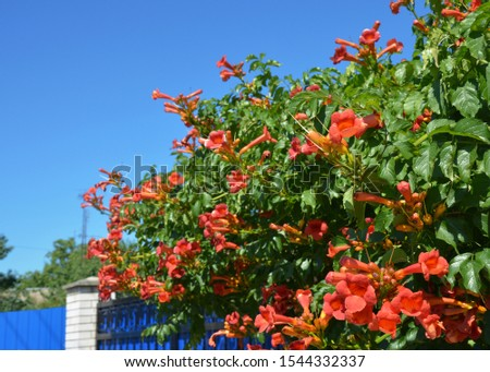 Trumpet vine flowers on house fence. Campsis radicans, trumpet vine or trumpet creeper, also known as cow itch vine or hummingbird vine #1544332337